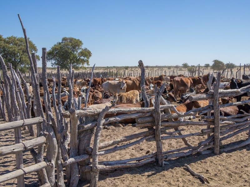 Cerco de madeira tradicional ou pena do gado com o rebanho de vaca no deserto de Kalahari de Botswana, África meridional imagem de stock