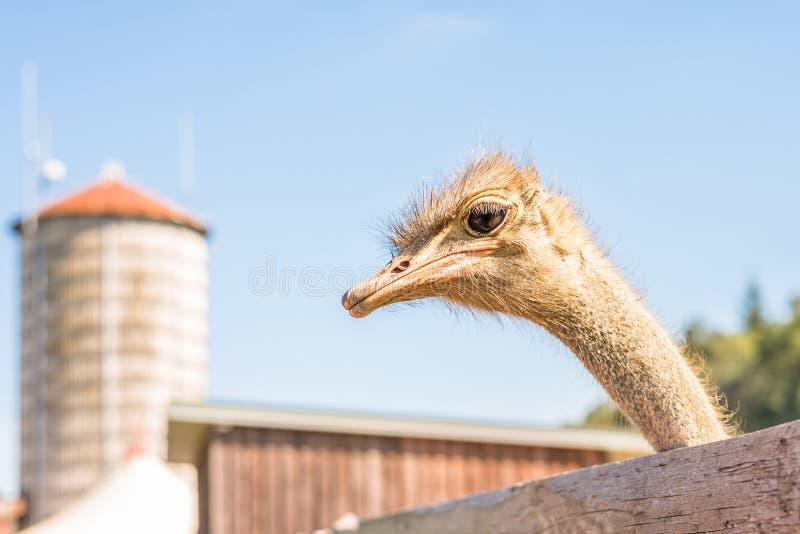 Cerco de un avestruz en una granja, Alemania fotografía de archivo libre de regalías