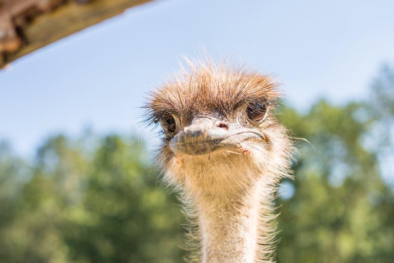 Cerco de un avestruz en una granja, Alemania foto de archivo libre de regalías