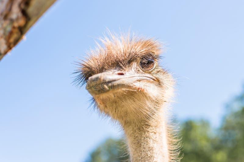 Cerco de un avestruz en una granja, Alemania fotos de archivo libres de regalías