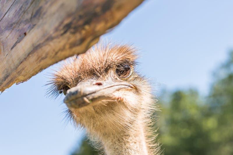 Cerco de un avestruz en una granja, Alemania foto de archivo