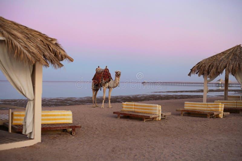 Cerco del camello en la playa del Mar Rojo en Sinaí, Egipto Concepto de vacaciones y viajes imagen de archivo libre de regalías