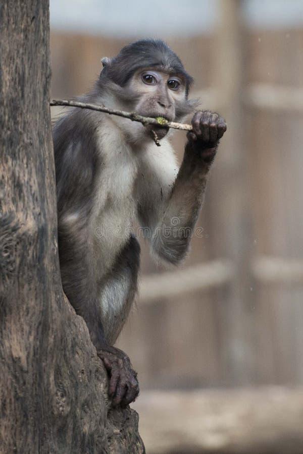 Cercocebus atys猴子 免版税图库摄影