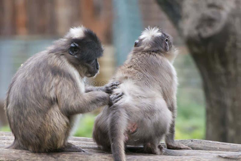 Cercocebus atys猴子 库存图片