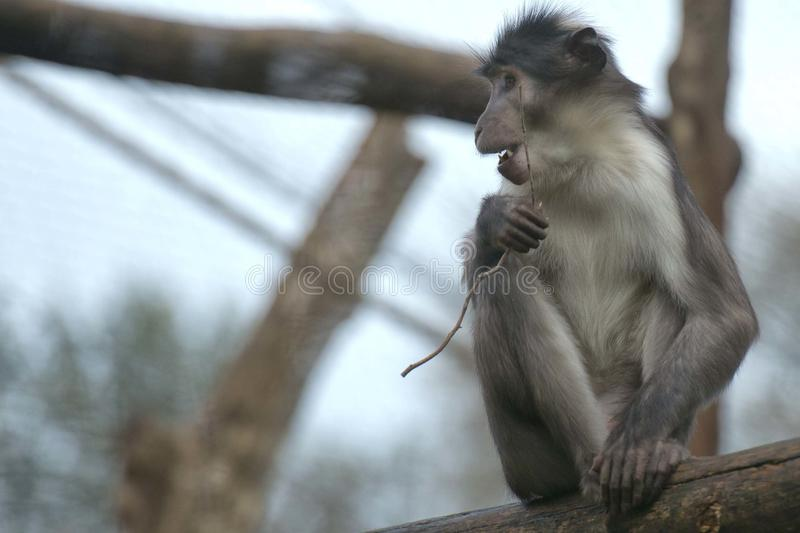 Cercocebus atys猴子 免版税库存照片