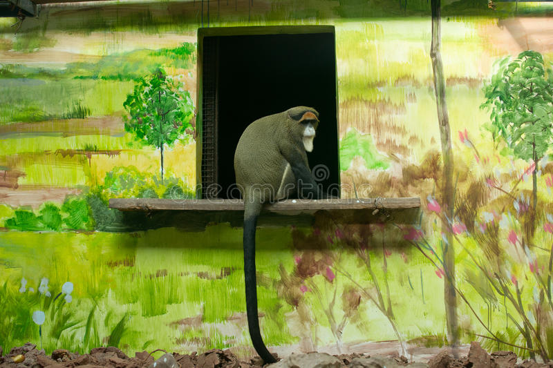 Cercopithecus neglectus. Was taken in the chongqing,china.a cercopithecus neglectus sitting on the windowsill stock photography