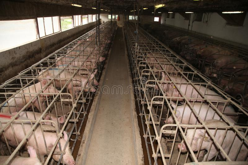 Cerdas en establo en una granja industrial foto de archivo