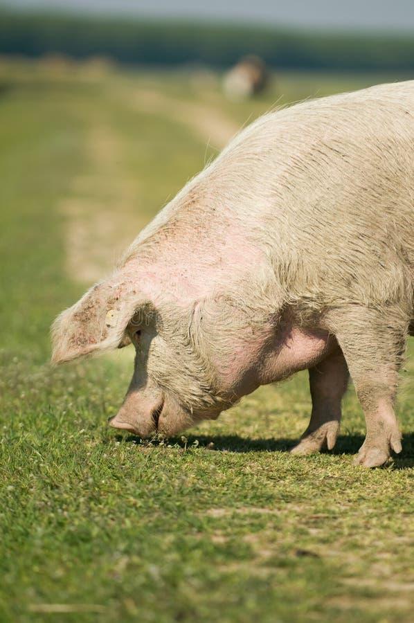 Cerdo foto de archivo libre de regalías