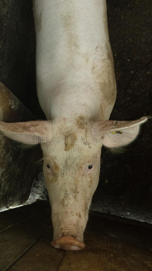 Cerdo imagenes de archivo