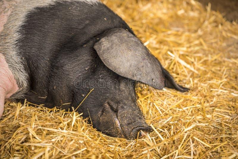 Cerdo alemán que duerme en el heno fotos de archivo