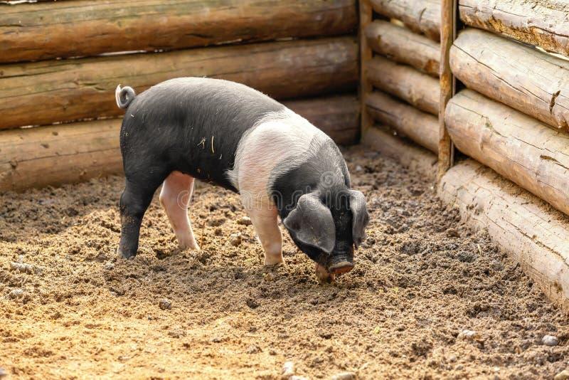 Cerdo blanco y negro imagenes de archivo