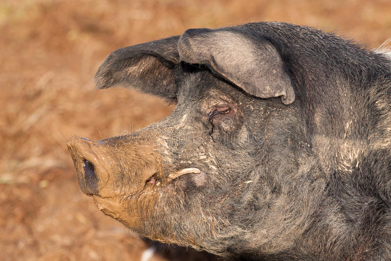 Cerdo británico del verraco de la ensillada imágenes de archivo libres de regalías