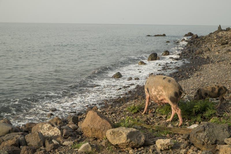 Cerdo a caminar por el mar fotos de archivo