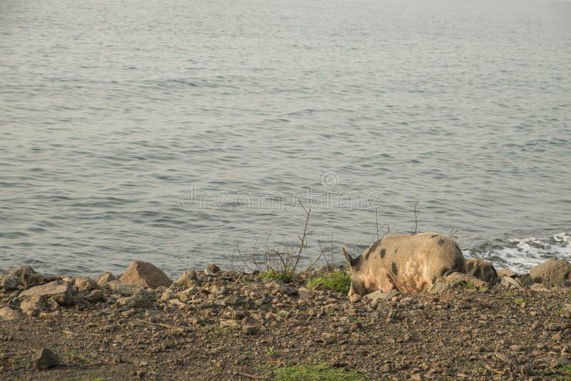 Cerdo a caminar por el mar foto de archivo libre de regalías