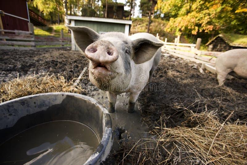 Cerdo curioso imágenes de archivo libres de regalías