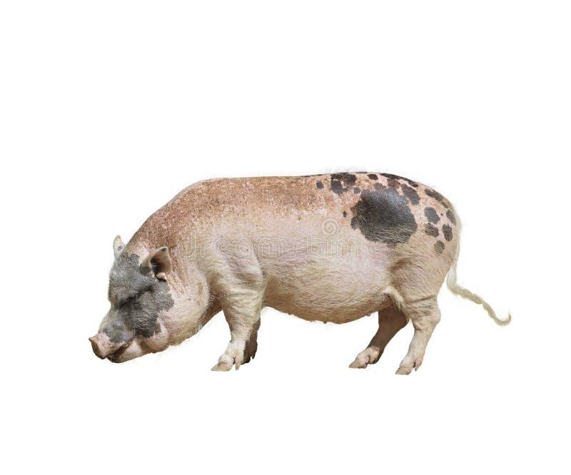 Cerdo de la granja fotografía de archivo libre de regalías