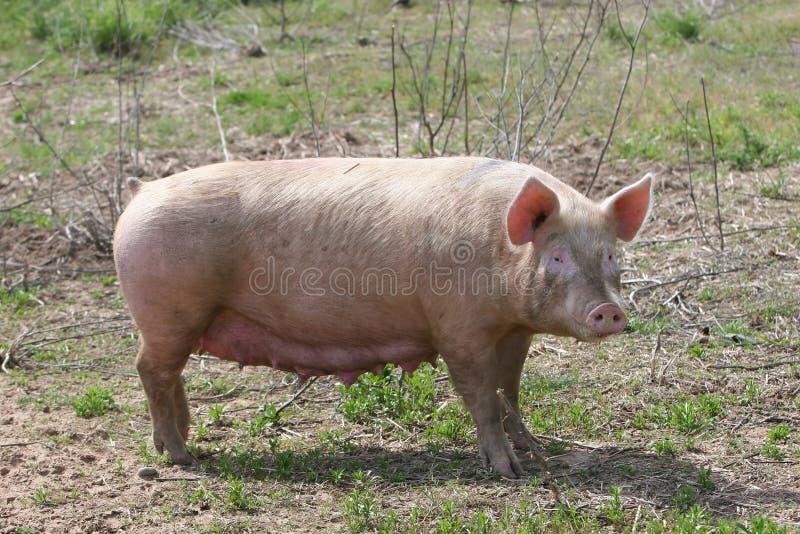 Cerdo de la madre imagen de archivo