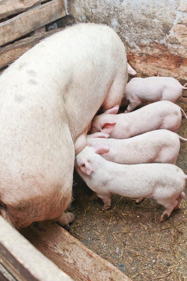 Cerdo de Momma que introduce pequeños cerdos imagen de archivo