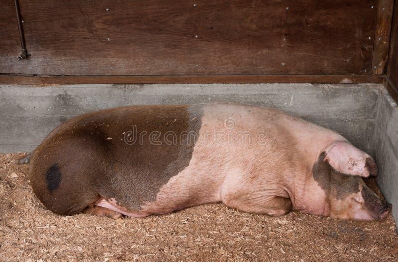 Cerdo El Dormir Foto de archivo libre de regalías