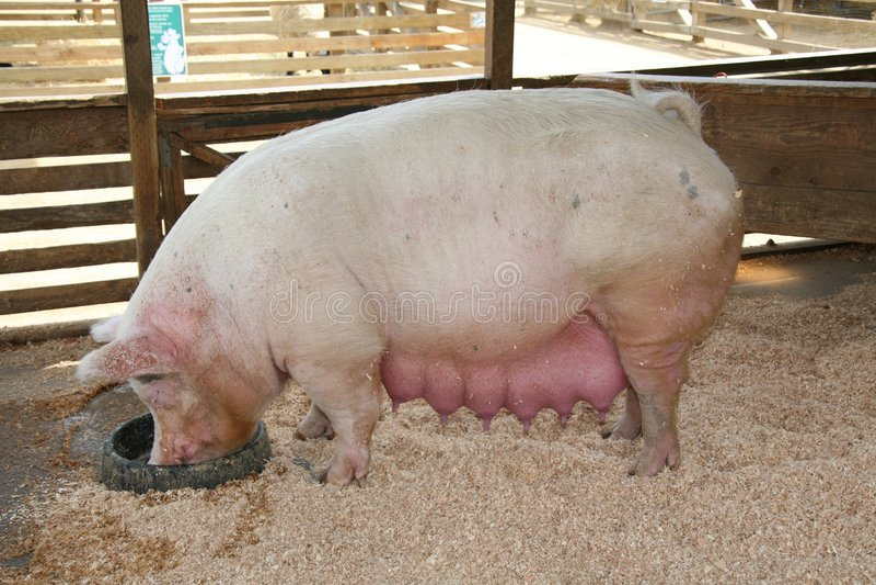 Cerdo embarazado fotos de archivo