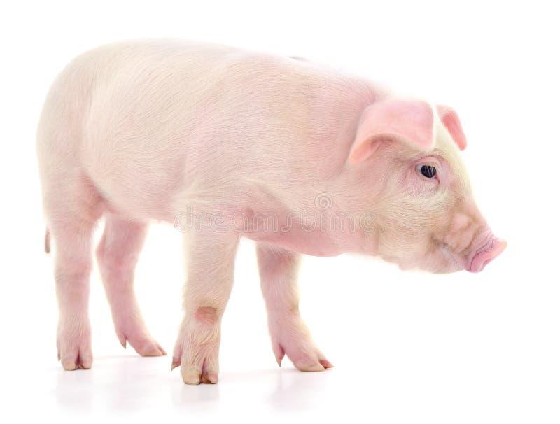 Cerdo en blanco fotos de archivo