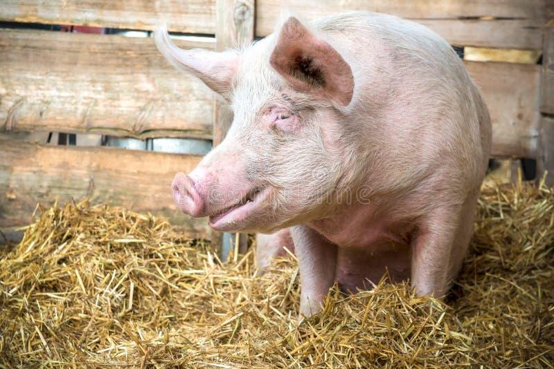 Cerdo en el heno y la paja imagen de archivo