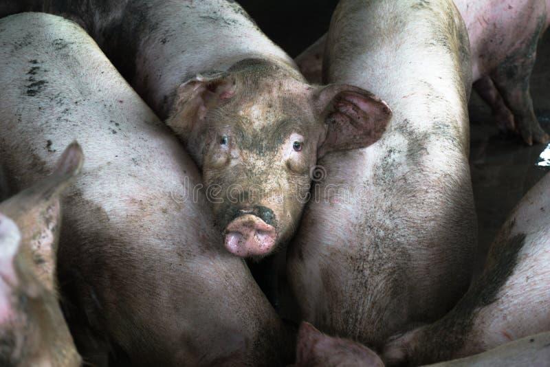 Cerdo en granja fotografía de archivo