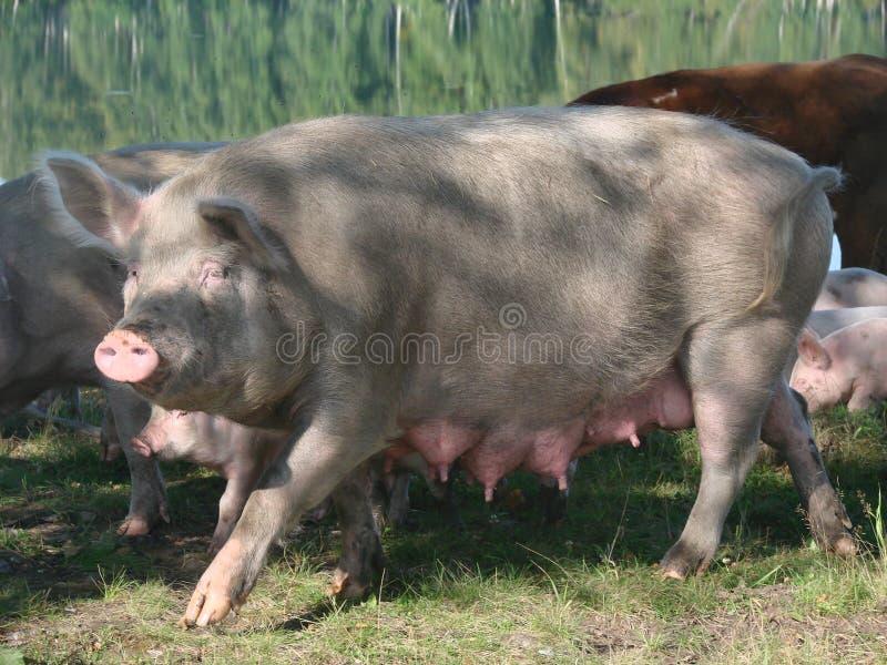 Cerdo femenino de la puerca imagenes de archivo