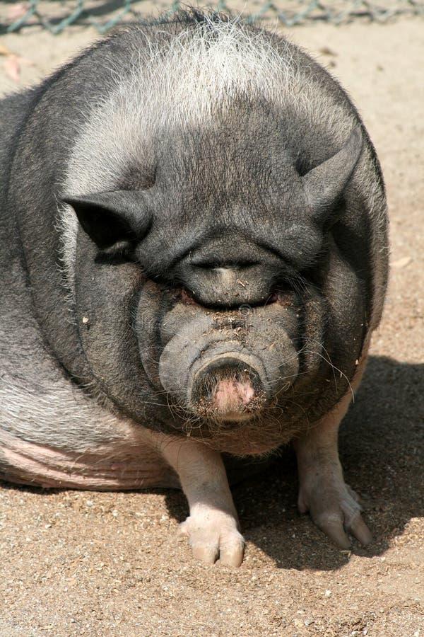 Cerdo feo foto de archivo. Imagen de sucio, cara, granja - 6419884