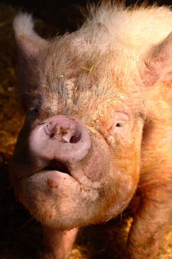 Cerdo feo imagenes de archivo