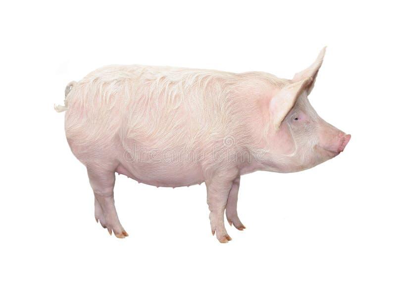 Cerdo grande aislado en blanco imagenes de archivo