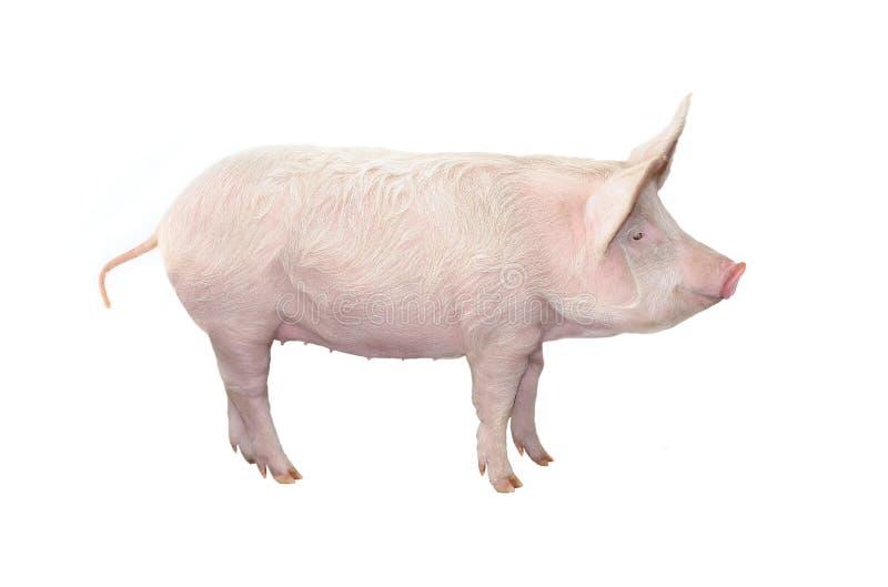 Cerdo grande aislado en blanco imagen de archivo libre de regalías