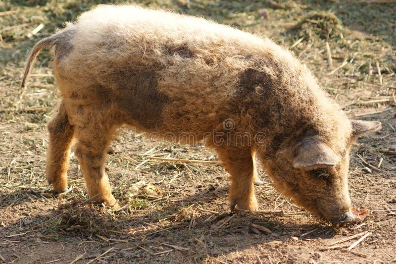 Cerdo húngaro del mangalitsa imagenes de archivo