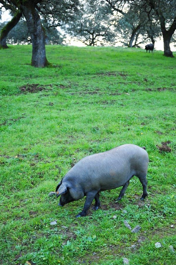Cerdo ibérico en el prado, España fotografía de archivo libre de regalías