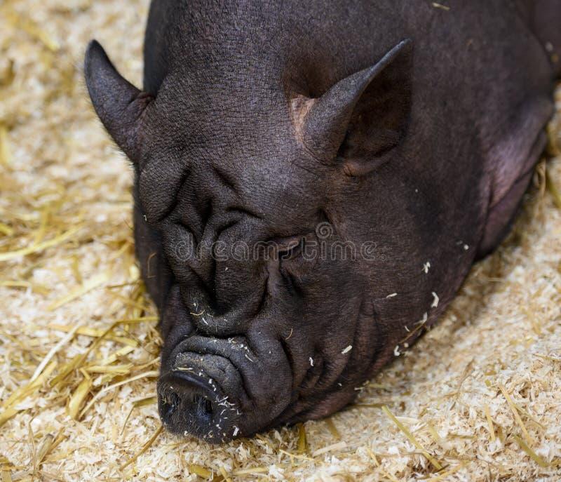 Cerdo negro arrugado enorme soñoliento foto de archivo