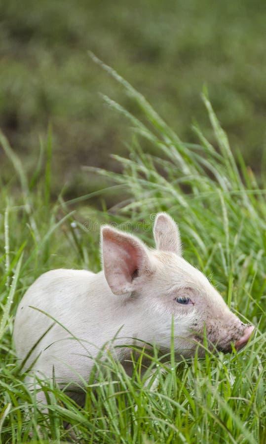 Download Cerdo orgánico imagen de archivo. Imagen de rural, agricultura - 42430303