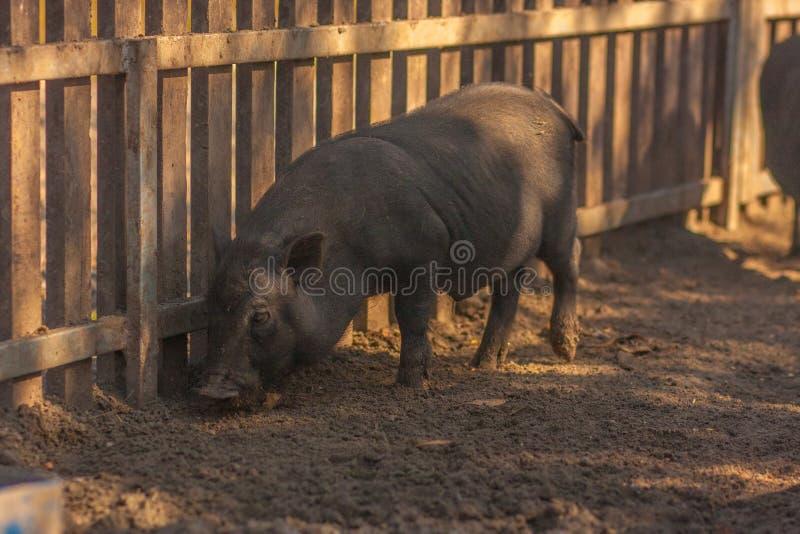 Cerdo para un paseo cerdo oscuro para un paseo en la yarda fotos de archivo libres de regalías