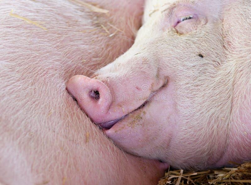 Cerdo que duerme en granero imagenes de archivo