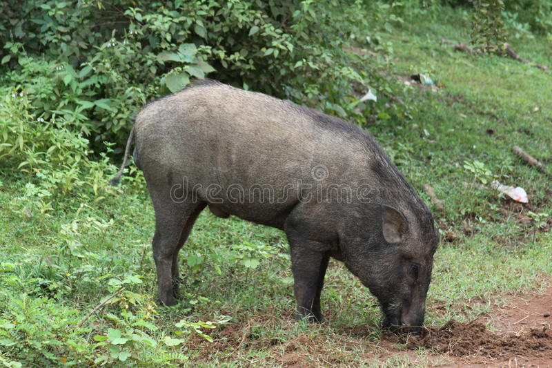 Cerdo salvaje de Sri Lanka foto de archivo