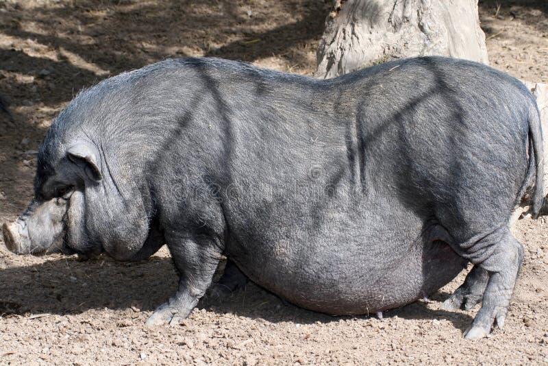 Cerdo salvaje grande imagen de archivo