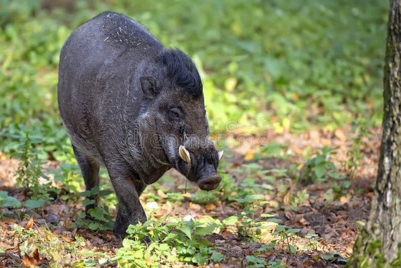 Cerdo verrugoso del Visayan en el bosque fotografía de archivo