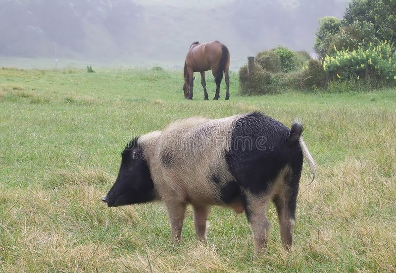 Cerdo y caballo imágenes de archivo libres de regalías