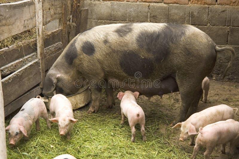 Cerdos imágenes de archivo libres de regalías