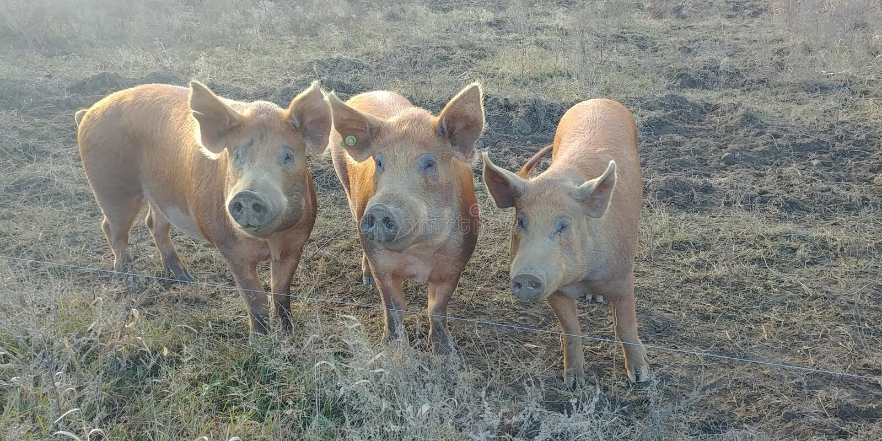 cerdos imagen de archivo libre de regalías