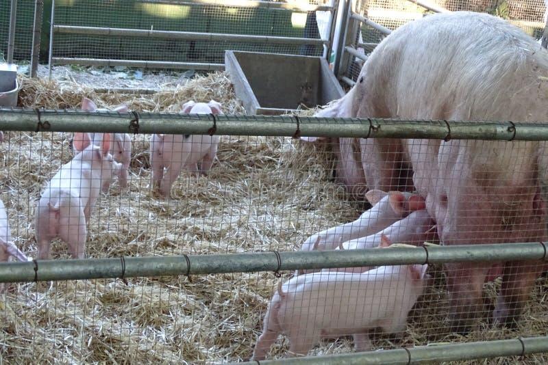 Cerdos, bebés y amamantamiento de la madre imagenes de archivo
