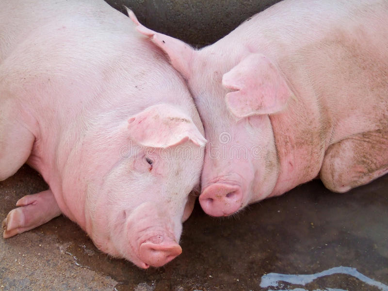 Cerdos de reclinación fotografía de archivo