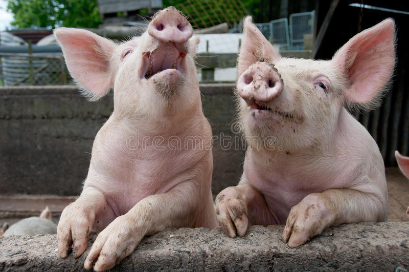 Cerdos del canto imagen de archivo libre de regalías
