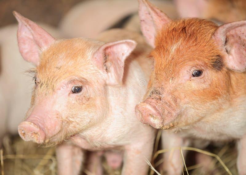 Cerdos del cochinillo imagen de archivo libre de regalías