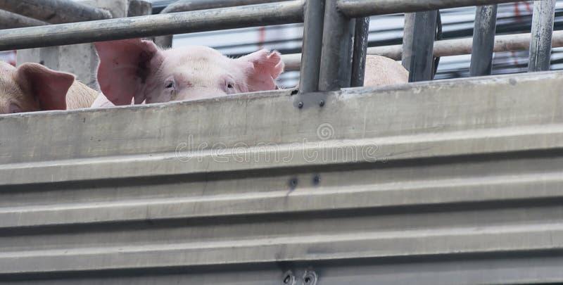 Cerdos en manera del camión al matadero para la comida fotografía de archivo