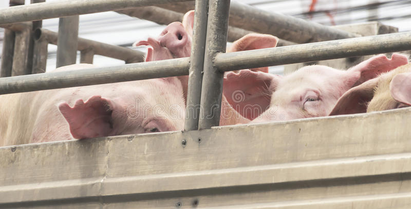 Cerdos en manera del camión al matadero para la comida fotos de archivo